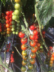 tomatentros